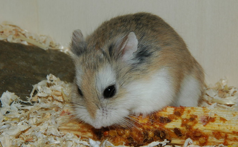 A Comprehensive Guide to the Roborovski Hamster - Online Hamster Care
