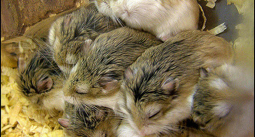 sleeping habits of hamsters