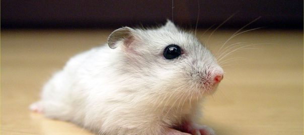 winter white dwarf hamsters together