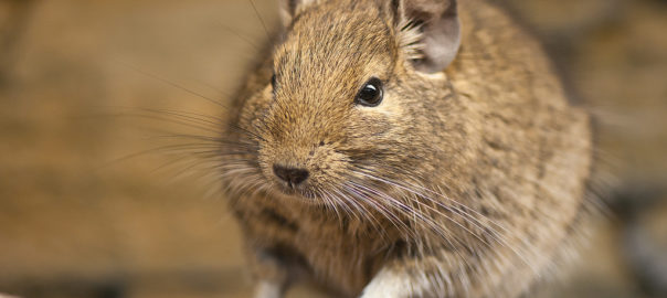 Do Hamsters and Degus Get Along? - Online Hamster Care