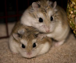 can hamsters eat each other