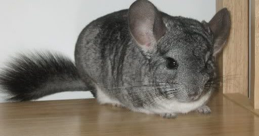 can hamsters and chinchillas live together