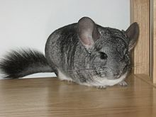 can hamsters and chinchillas get along